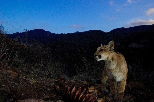 Southern California's mountain lions might soon go extinct
