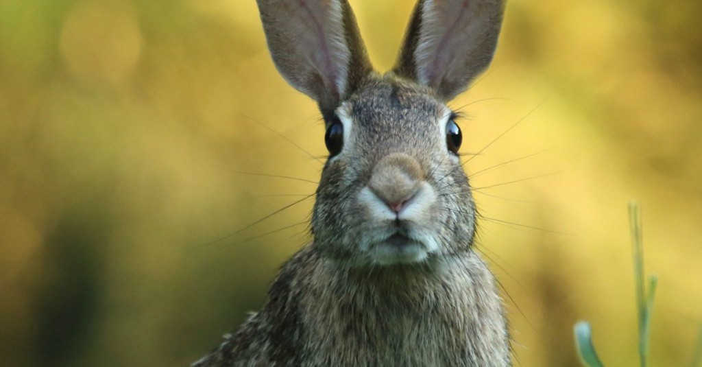 What to know about 'Bunny Ebola,' the rabbit virus sweeping the Southwest US