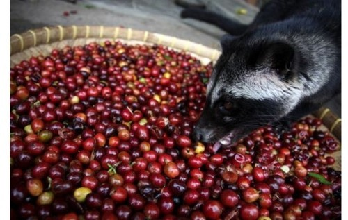 Scan Reveals If Your Civet Poo Coffee Really Comes From Civet Poo