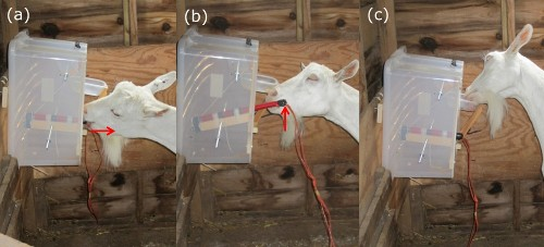 Goats Found To Be Much Smarter Than Previously Believed