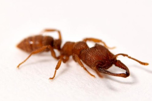 The Dracula ant snaps its jaw shut 5,000 times faster than you can blink