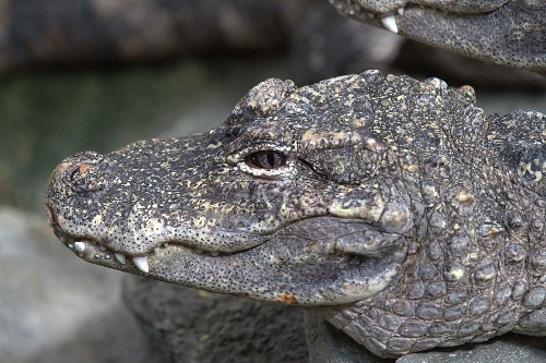Alligator On Helium Reveals The Secret Meaning Of Alligator Bellows