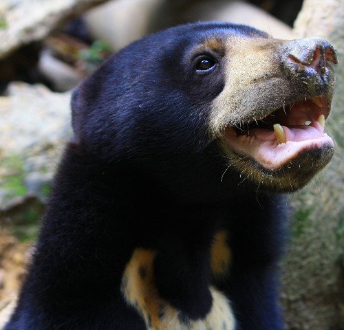 Sun bears mimic faces just like us, and it's raising some eyebrows