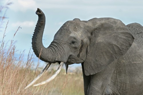 Using DNA Forensics To Track Elephant Poachers
