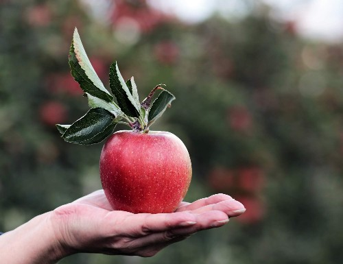 We spend most of the year eating really, really old apples. Why do they taste so good?