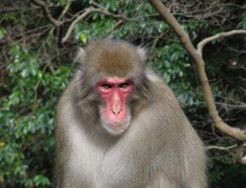 Fukushima Monkeys Have Fewer Blood Cells Than Monkeys Elsewhere, Study Finds