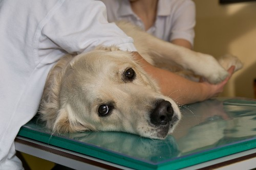 Antibody Treatment Developed For Dogs With Cancer