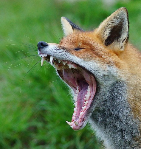 What Sound Does A Fox Really Make?