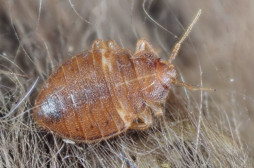 Bed Bugs May Be Splitting Into New Species