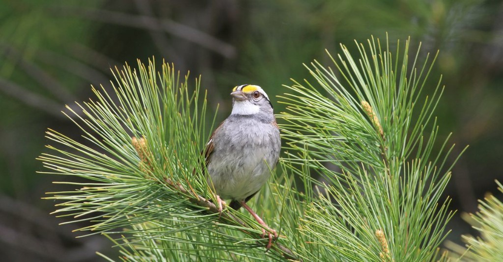 White-throated sparrows are ditching their classic song for a new tune