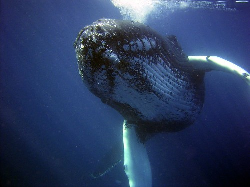A disturbing number of humpback whales are dying off the east coast