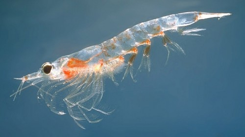 Scientists consider whether krill need to be protected from human over-hunting