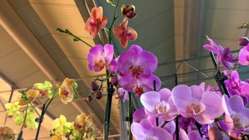 This Ohio greenhouse is taking cues on growing orchids from the masters — the Dutch