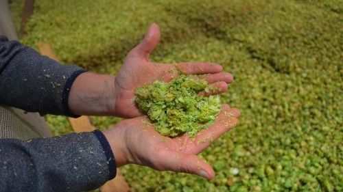 The climate for making beer is changing, so brewers and hops growers are, too