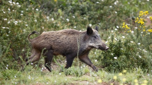 Elderly man killed by wild boar in Sicily makes a tense situation worse