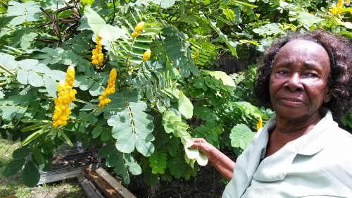 It's not just a weed. Why some Caribbean immigrants seek out this wild plant in Florida.