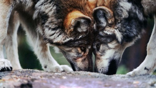 How success saving the gray wolf may backfire on environmentalists