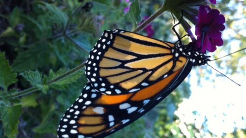 The monarchs were missing this summer ... and we and weather were to blame