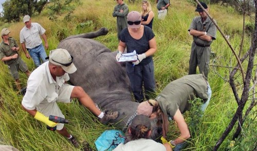 Poisoning rhino horns doesn't hurt the rhinos, but it may keep poachers away