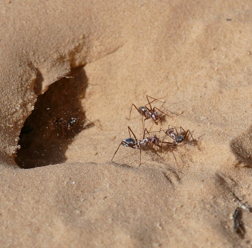 Meet the fastest ants in the world: Saharan silver ants