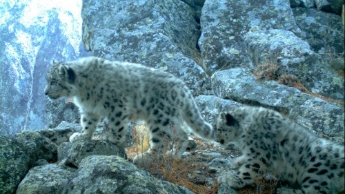 The snow leopard, a Sochi Olympics symbol, is near extinction