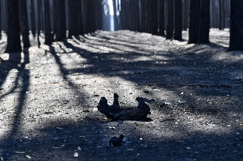 1 billion animals have died in Australian bushfires, ecologist estimates