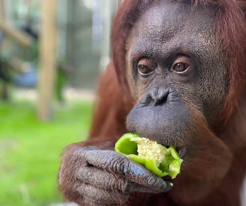 This orangutan's 'personhood' victory brings hope to US animal rights movement