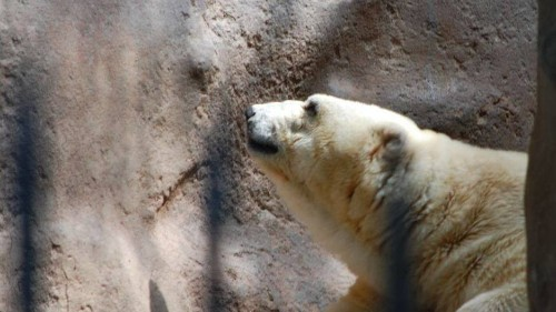 Tens of thousands sign a petition to help 'the world's saddest' polar bear