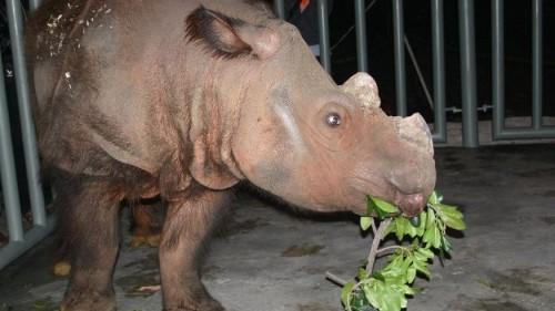 When Harry met Rosa, a rhino love story