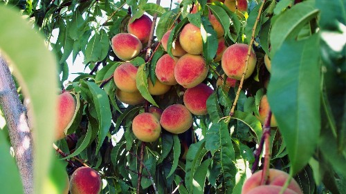 New regions in Canada are growing peaches thanks to global warming
