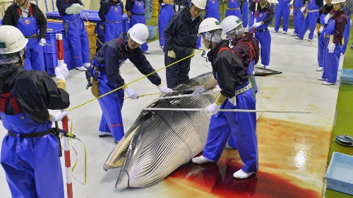 Japan has run out of excuses to hunt whales, but it's going to keep doing it anyway