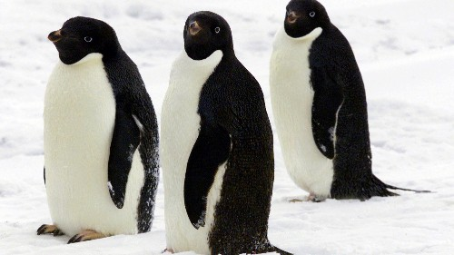 A supercolony of 1.5 million penguins went unnoticed until now