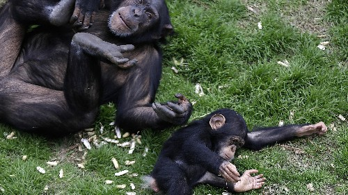 """Chimpanzees of the future might be considered """"legal persons"""""""