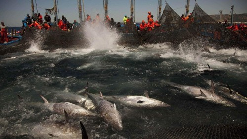 200 tons of illegally caught Atlantic bluefin tuna show how we're driving these fish to extinction