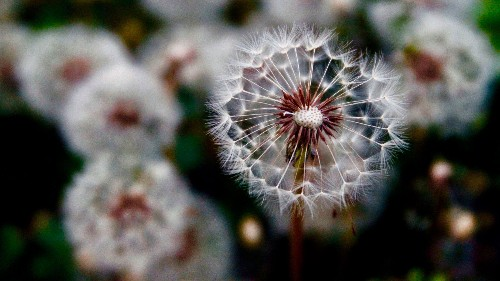 Physicists discovered a new form of flight thanks to dandelion seeds