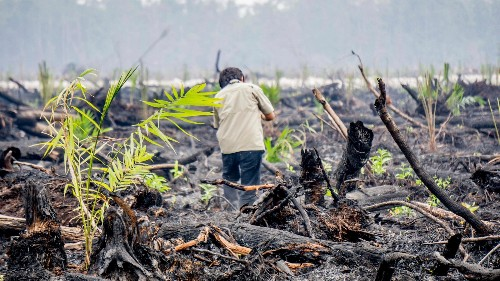Confirmed: Oil palms were planted on just-burned land outside an Indonesian orangutan sanctuary
