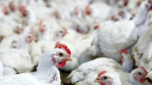 Tyson Food's (TSN) stock is tanking on reports of a massive chicken pricing conspiracy