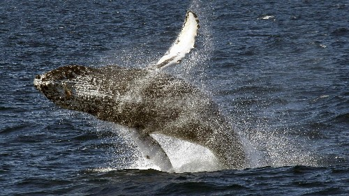 Humpback whales are battling killer whales to rescue other mammals