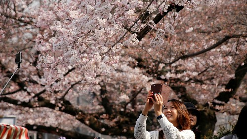 Letter of recommendation: Visit Japan during cherry blossom season once in your life
