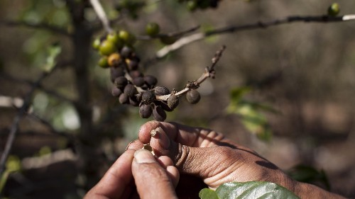 Will climate change make coffee go extinct?