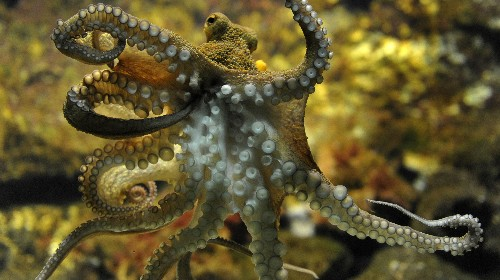 The genetic trait that makes octopuses so smart is just as ingenious as they are