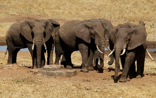 Five endangered elephants were killed while everyone was freaking out about Cecil the lion