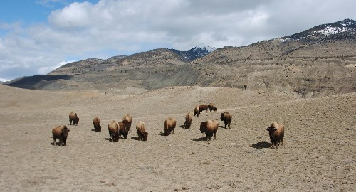 The buffalo will soon be roaming the American plains again