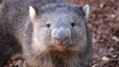 Wombat's cubed-shaped poop could solve a manufacturing mystery
