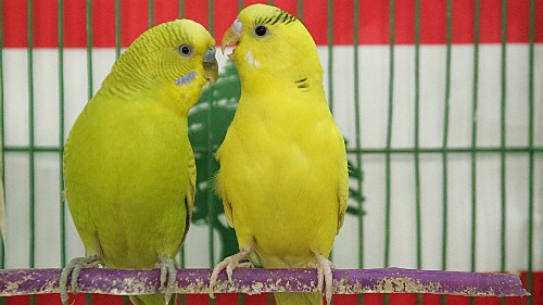 Female parakeets don't like pairing up with dummies