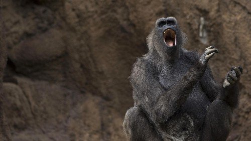 The world's most famous gorilla is showing signs of early speech