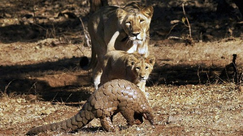 After 80 million years on earth, a shy and scaly wild animal is rapidly dying out in India