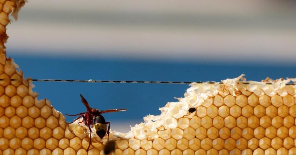 Life-saving wasp venom relies on a shaky supply chain