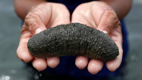 A border arrest exposes lucrative black market for sea cucumbers