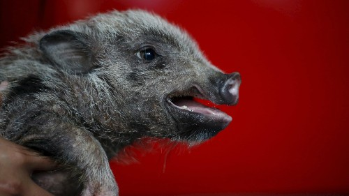 Should a human-pig chimera be treated as a person?